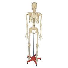 Large Adult Plastic Skeleton - 66''H