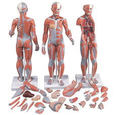 Anatomical Model - 33 Part 1/2 Life-Size Complete Dual Sex Muscle Model on Mounted Base