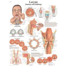 Larynx Anatomical Laminated Chart - 20
