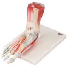 Anatomical Model - 6 Part Foot Skeleton with Removable Ligaments and Muscles on Mounted Base