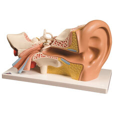 Anatomical Model - 4 Part Human Ear on Mounted Base