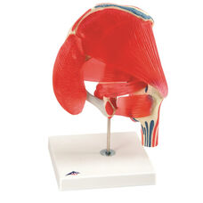 Anatomical Model - 7 Part Hip Joint with Removable Muscles on Mounted Base