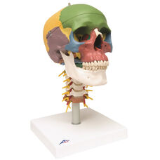 Anatomical Model - 4 Part Didactic Skull with Cervical Spine on Mounted Base