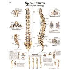 Spinal Column Anatomical Paper Chart - 20