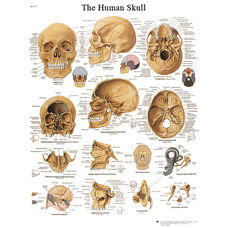 Human Skull Anatomical Laminated Chart - 20