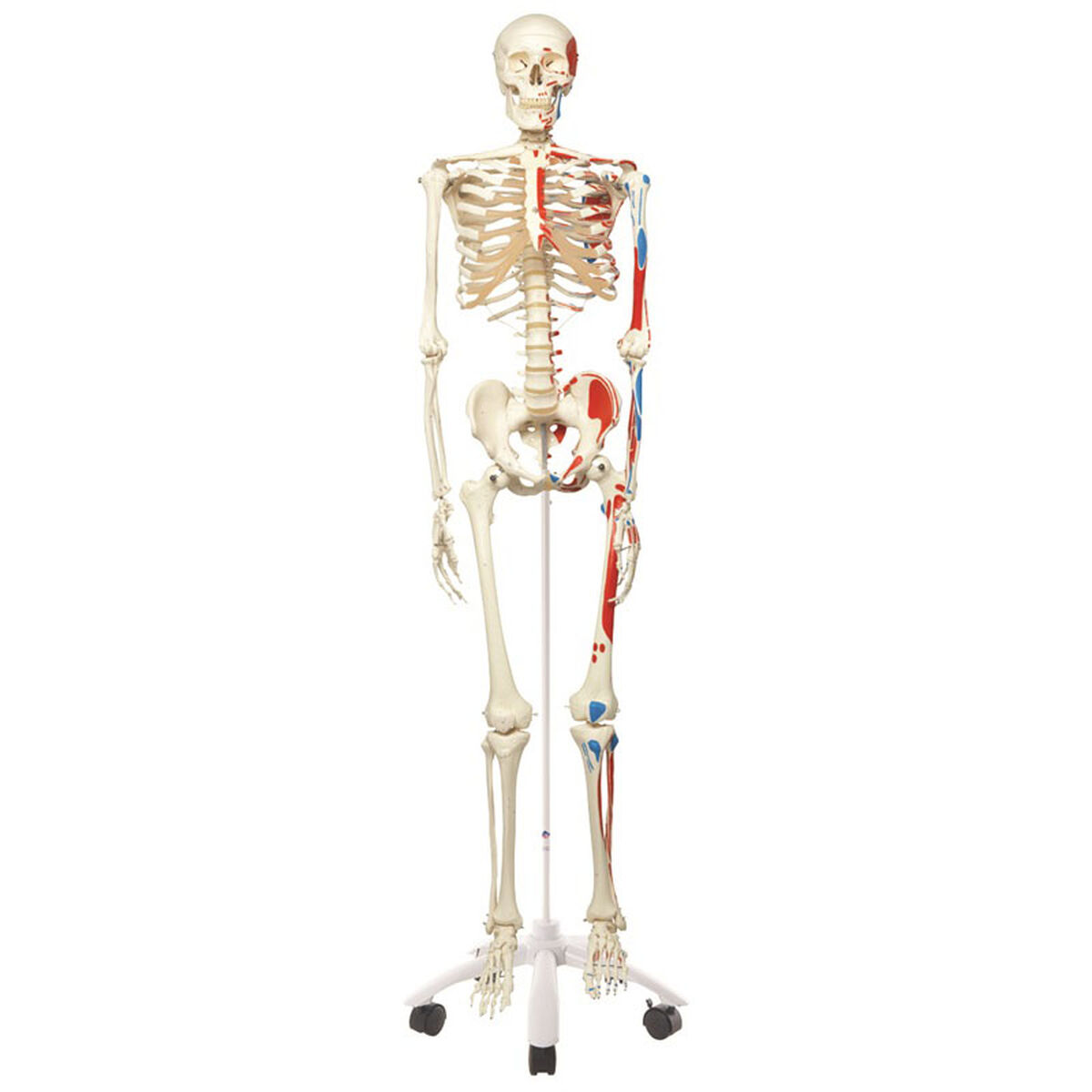 Muscle Skeleton Roller Stand 12-4501 | Bizchair.com