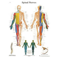Spinal Nerves Anatomical Adhesive Back Chart - 18