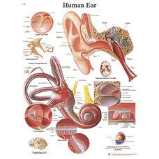 Human Ear Anatomical Paper Chart - 20