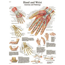Hand and Wrist Anatomical Adhesive Back Chart - 18