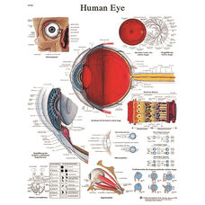 Human Eye Anatomical Laminated Chart - 20