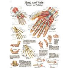 Hand and Wrist Anatomical Laminated Chart - 20