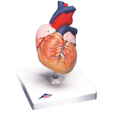 Anatomical Model - 2 Part Human Heart on Mounted Base