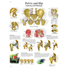 Hip and Pelvis Anatomical Laminated Chart - 20