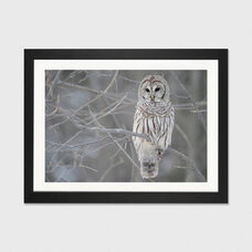 Barred Owl on Branches by Unknown Artist Artwork on Fine Art Paper with Black Matte Hardwood Frame - 24