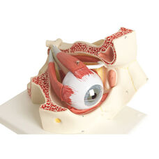 Anatomical Model - 7 Part Human Eye on Mounted Base