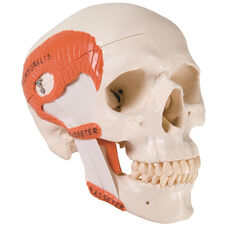 Anatomical Model - 2 Part Functional Skull with Masticator Muscles