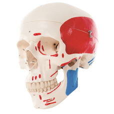 Anatomical Model - 3 Part Painted Classic Skull