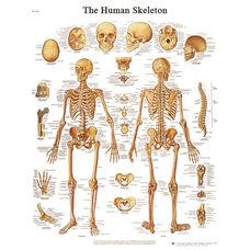 Human Skeleton Anatomical Adhesive Back Chart - 18