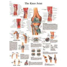 Knee Joint Anatomical Adhesive Back Chart - 18