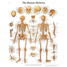 Human Skeleton Anatomical Laminated Chart - 20