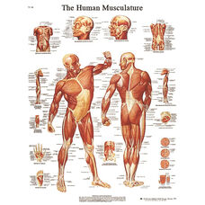 Human Musculature Anatomical Laminated Chart - 20
