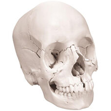 Anatomical Model - 22 Part Beauchene Classic Skull
