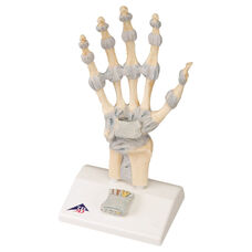 Anatomical Model - Hand Skeleton with Ligaments on Mounted Base