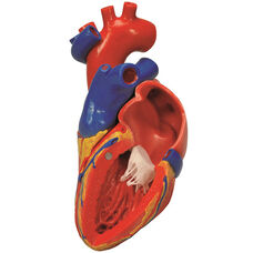 Anatomical Model - 2 Part Human Heart with Bypass on Mounted Base