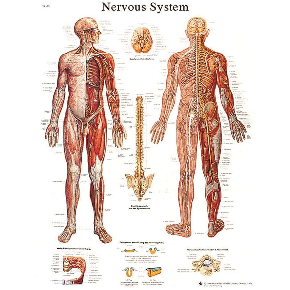 Nervous System Adhesive Chart 12 4628s Bizchair