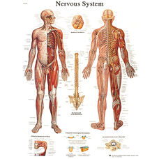 Nervous System Anatomical Adhesive Back Chart - 18