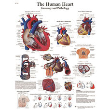 Human Heart Anatomical Laminated Chart - 20