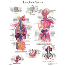 Lymphatic System Anatomical Paper Chart - 20