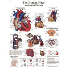 Human Heart Anatomical Adhesive Back Chart - 18