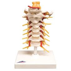 Anatomical Model - Cervical Spinal Column on Mounted Base
