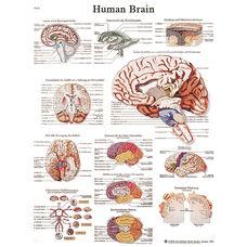 Human Brain Anatomical Paper Chart - 20