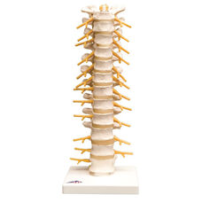 Anatomical Model - Thoracic Spinal Column on Mounted Base