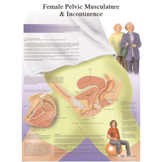 Female Pelvic Musculature and Incontinence Anatomical Laminated Chart - 20