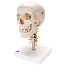 Anatomical Model - 4 Part Classic Skull with Cervical Spine on Mounted Base