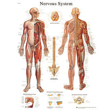 Nervous System Anatomical Laminated Chart - 20