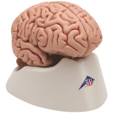 Anatomical Model - 5 Part Classic Brain on Mounted Base