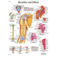 Shoulder and Elbow Anatomical Laminated Chart - 20